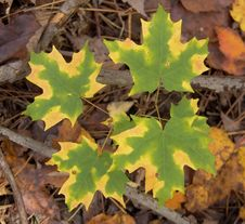 Free Fall Maple Leaves Stock Photos - 6442513