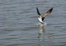 Seagull.flight Stock Image