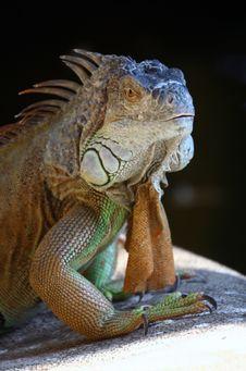 Free Iguana Royalty Free Stock Image - 6446736