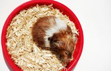 Hamster In His Home Stock Photo