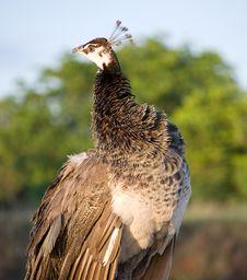 Free Florida Peacock Stock Photos - 6447593