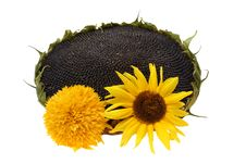 Free Sunflower Stock Images - 6448804