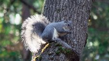 Grey Squirrel Eating Nuts In A Tree Stock Photos