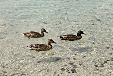 Free Ducks Stock Images - 64496654