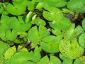 Free Water Lily Pads Royalty Free Stock Image - 6453306