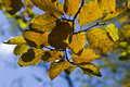 Free Yellow Leaves Royalty Free Stock Image - 6453346