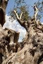 Free Olive Tree Stock Photography - 6455862