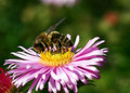 Free Honeybee Royalty Free Stock Images - 6457239