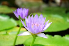 Free Violet Water Lily Stock Image - 6450221