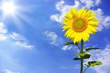 Free Sunflowers Royalty Free Stock Image - 6450256