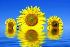 Free Sunflowers Stock Photography - 6450312
