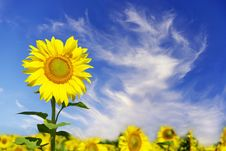 Free Sunflowers Royalty Free Stock Photo - 6450755
