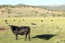 Free Cows Stock Images - 6450914