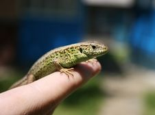 Free Green Lizard Royalty Free Stock Photo - 6451125