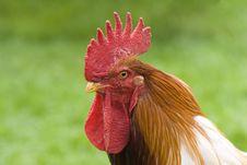 Free Cockerel Stock Images - 6451144