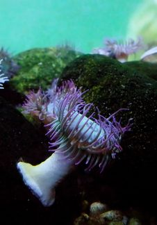 Free Sea Anemone Royalty Free Stock Photography - 6451437