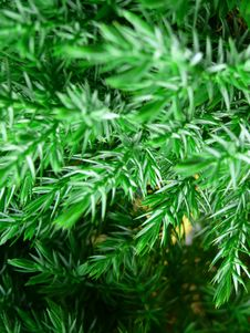 Free Fresh Green Branch Of Pine Tree Royalty Free Stock Photo - 6451735