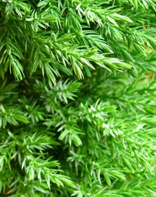 Free Fresh Green Branch Of Pine Tree Stock Images - 6451844