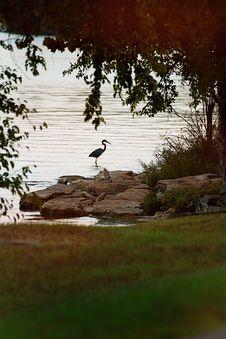 Free Blue Heron Stalking A Fish Royalty Free Stock Image - 6452166