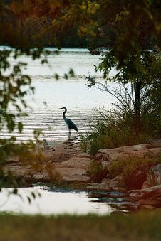 Free Blue Heron Stalking A Fish Stock Images - 6452214