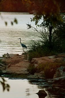 Free Blue Heron Stalking A Fish Stock Photography - 6452222