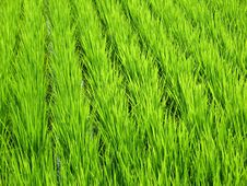 Free Luscious Green Wheat Field Royalty Free Stock Images - 6453029