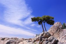 Free Pine Tree Royalty Free Stock Images - 6454359