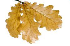 Free Oak Twig Royalty Free Stock Photo - 6455405