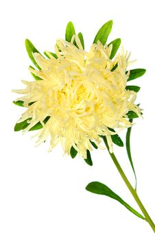 Free Pale Yellow Aster Royalty Free Stock Image - 6455486
