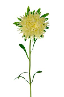 Pale Yellow Aster Royalty Free Stock Images