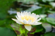 Free Water Lily Royalty Free Stock Photo - 6456075