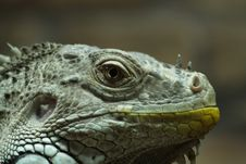 Free Iguana Royalty Free Stock Photos - 6457978