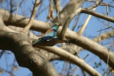 Abyssinian Roller Stock Images