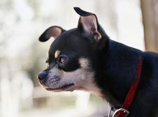 Free A Tiny Chihuahua Stock Images - 6458494
