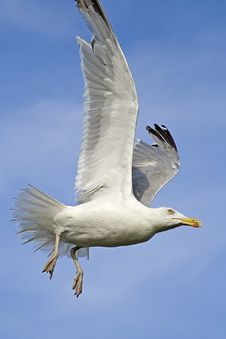 Free Flying Seagull Royalty Free Stock Photo - 6458625