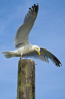 Free Flying Seagull Stock Photography - 6458742
