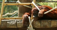 Free An Orangutan Royalty Free Stock Photography - 6458977