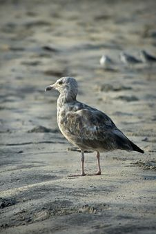 Free Seagull On Beach Stock Photos - 6459113
