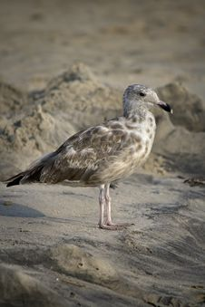 Free Seagull On The Beach Royalty Free Stock Image - 6459166