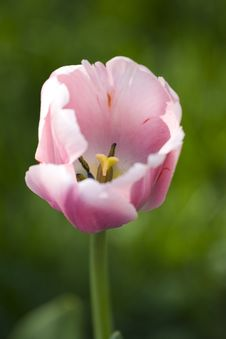 Free Pink Tulip Stock Images - 6459414