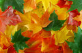 Free Maples Leaf Royalty Free Stock Photo - 6462925