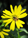 Free Busy Bee And Yellow Mum Flower Stock Photography - 6464672