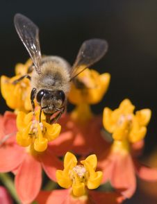 Free Bee On Flower (Asclepias) Stock Image - 6460121