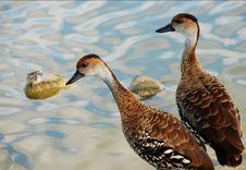 Free Ducks On Lake Royalty Free Stock Image - 6460646