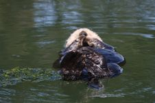 Free Otter Stock Image - 6461251