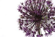 Free Allium Stock Images - 6462494