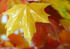 Free Maples Leaf Royalty Free Stock Photography - 6462787