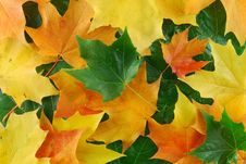 Free Maples Leaf Stock Images - 6462814