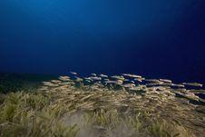 Free Striped Eel Catfish (plotosus Lineatus) Royalty Free Stock Photos - 6463538