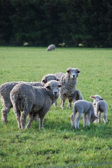 Free Family Of Sheeps Royalty Free Stock Photos - 6463808